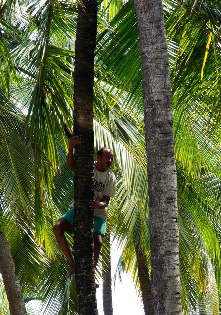 palma_kokosowa