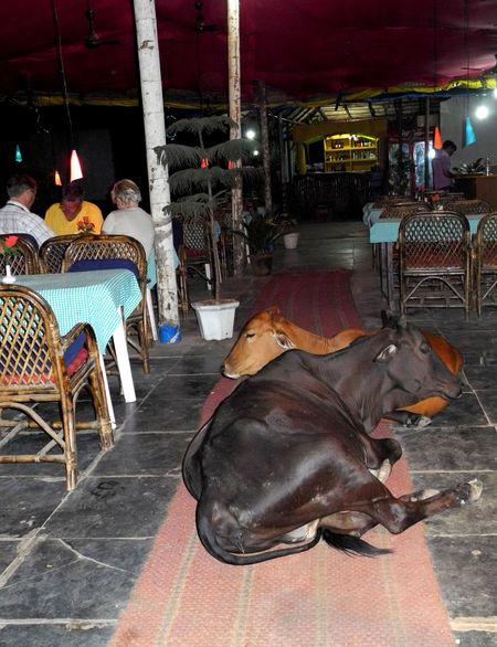 krowy_restauracja