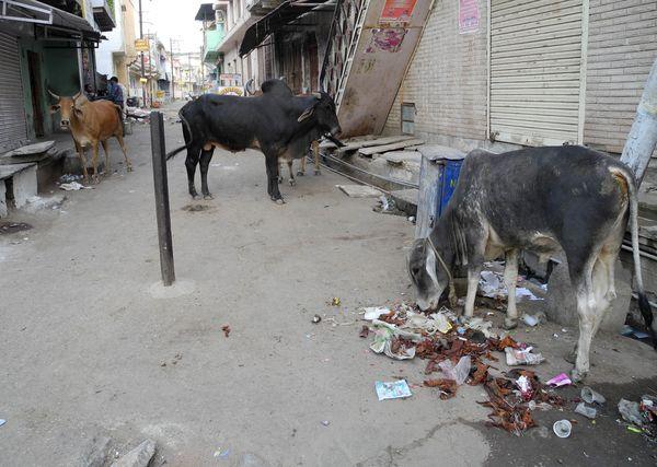 krowy_na_ulicach