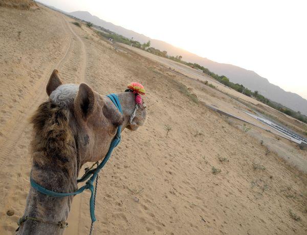 wielblad_pustynia