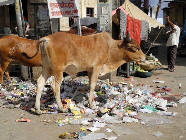 Indie_krowy