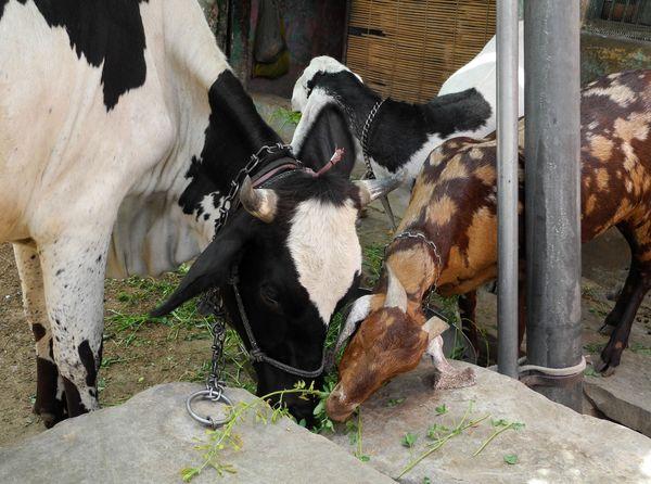 krowa_koza